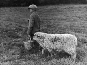 little-boy-carring-a-metal-pail-of-feed-is-followed-by-a-hungry-sheep