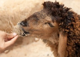 14719334-hand-feeding-cute-sheep-by-dry-grass-e1418161213276