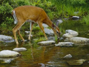 schermeister-phil-a-white-tailed-deer-drinks-from-a-stream