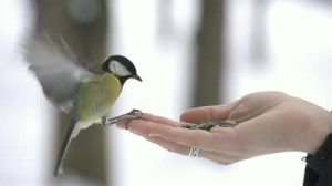 stock-footage-slow-motion-parus-bird-lands-on-hand-and-takes-a-seed
