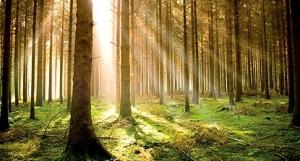trees_woodland_sequoia