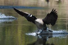 canadian-goose-landing-water-geese-pond-38272943