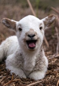 cute-animal-pictures-happy-lamb-sheep