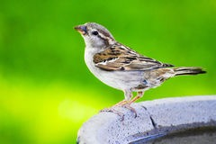 sparrow-bird-bath-sitting-46070522