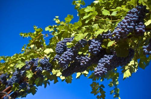 beautiful-autumn-harvest-fresh-grapes-definition-pc-wallpapers